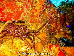 Spotted Spiny Lobster seen in Grand Cayman August 2008.  ... by Bonnie Conley