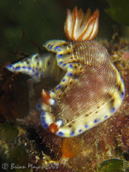 Nudibranch (Hypselodoris carnea) posing nicely....¸><((((... by Brian Mayes