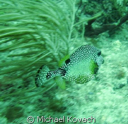 Smooth Trunkfish on the Inside Reef at Lauderdale by the Sea by Michael Kovach
