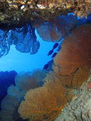 "Sea Fans ""gorgonian colony""- Saipan Grotto by Martin Dalsaso"