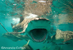 Lemon shark mid feeding at the surface.  Tiger Beach, Bah... by Amanda Cotton