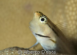 Little goby on hard coral by Alberto D'este