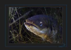 Hunting European eel.   (Anguilla anguilla) Neuchatel lake by Sven Tramaux