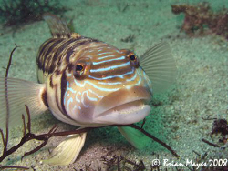 This friendly Smalescale Sandperch (Parapercis robinsoni)... by Brian Mayes