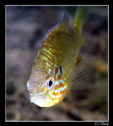 Lepomis gibbosus - a tropical fish in our freshwater ponds? by Daniel Strub