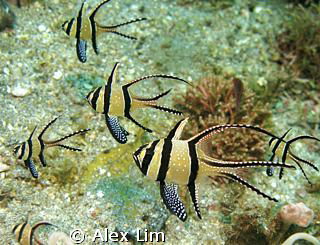Cardinals endemic to Lembeh? by Alex Lim