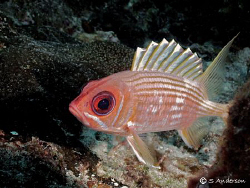 This photo makes me think that this Squirrelfish has a co... by Steven Anderson