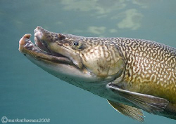 Brown trout profile.