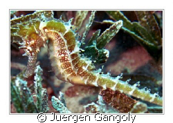 House Reef Holiday Inn Safaga - very seldom spooted there by Juergen Gangoly