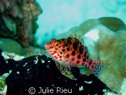 Hawkfish, finally stopping - very briefly - after teasing... by Julie Rieu