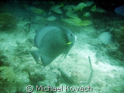 Grey Angelfish on the Inside Reef at Lauderdale by the Sea by Michael Kovach