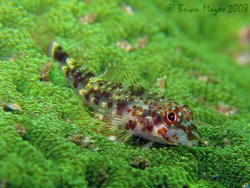 I think this Pixie Triplefin (Enneapterygius pusillus) on... by Brian Mayes