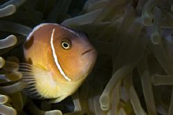 Skunk clown fish. Single strobe far to the left for shado... by Cal Mero