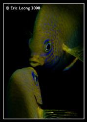 Damsel Fish kissing by Eric Leong