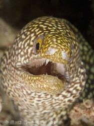 Moray Eel.  Ningaloo Reef, Western Australia.  Canon 40D ... by Ross Gudgeon