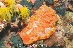 Spanish Dancer (Hexabranchus sanguineus)  Not exactly mac... by Bill Stewart