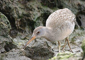 Clapper Rail, taken in an Oceanside, NY  tidal creek. Can... by Michael Farina
