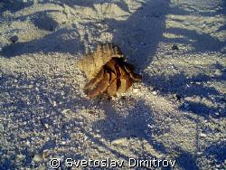 Curious helmet crab by Svetoslav Dimitrov