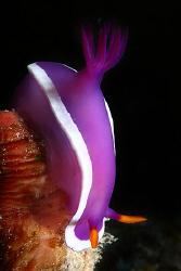 Nudibranch. by Miguel Cortés