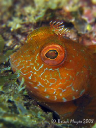 Just as I found this Fringed Blenny (Mimoblennius cirrosu... by Brian Mayes