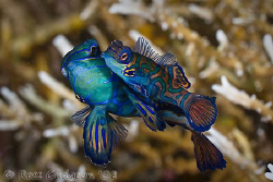 Mandarin Fish mating ritual.  Lembeh Strait, Sulawesi.  C... by Ross Gudgeon
