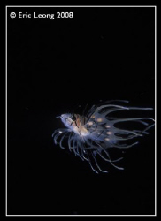 juv lionfish by Eric Leong