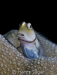 """Blenny"" from Dhoni Kolhu, Maldives (Olympus E-3, 50mm ma... by Henry Jager"