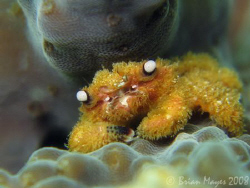 This tiny coral crab (Cymo melanodactylus) is so fury, it... by Brian Mayes