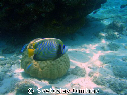 This young angelfish, was shot at the shore reef of Kured... by Svetoslav Dimitrov