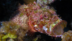 Scorpion Fish in action at Vieques, PR. by Juan Torres