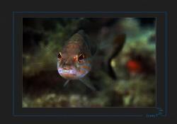 A Comber (Serranus cabrilla) facing the lens. by Sven Tramaux