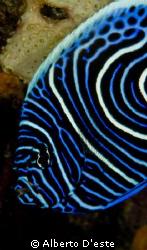 Angelfish juvenilis - Nikon D70S - 105mm macro by Alberto D'este