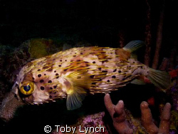 Balloon fish out for a slow Sunday stroll, on the reef ar... by Toby Lynch