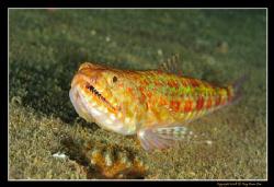 Lizard Fish, D300, Nikkor 60mm AFS Macro, 2x YS-110 strobes by Kay Burn Lim