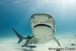 Tiger shark coming in for a closer look at tiger beach, B... by Amanda Cotton