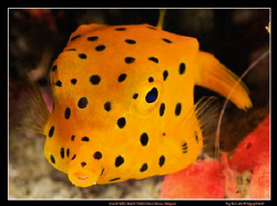 Juvenile Boxfish. This little guy was hiding under a ledg... by Kay Burn Lim
