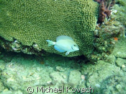 Doctor fish on the Inside Reef at Lauderdale by the Sea by Michael Kovach