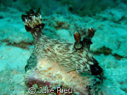 Giant nudibranch - impressive! by Julie Rieu