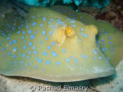 Blue spotted stingray by Rashad Elmasry