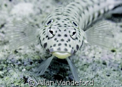 Speckled Sandperch.  While diving from Pelagian off the c... by Allan Vandeford