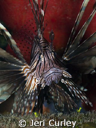 This Lionfish was tucked into a wreck in the Bahamas.  Ph... by Jeri Curley