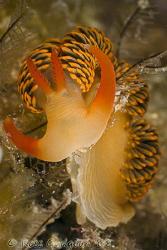 Moridilla brockii.  Ningaloo Reef, Western Australia.  Ca... by Ross Gudgeon