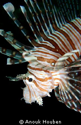 Lionfish. Picture taken on the second reef off Negombo, S... by Anouk Houben