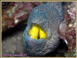 A close up on a Yellow Mouth Eel took it when I was in, M... by Mohammed Al Hamood