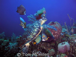 Diving in Roatan Honduras I came across this Turtle feedi... by Tom Mcmillen
