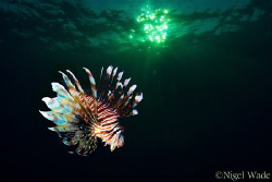 Lion fish under a setting sun by Nigel Wade