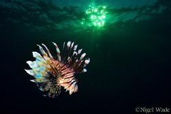 Lion fish under a setting sun by Nigel Wade