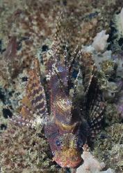 Lion fish on KBR pier leg. Lembeh straits.D200, 60mm. by Derek Haslam