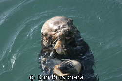Watched this California Sea Otter dive repeatedly. He fin... by Don Bruschera