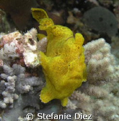 Yellow Froggi taken in Nuweiba with an Olympus 5060 WZ an... by Stefanie Diez